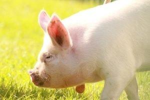 pigs-2015