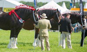 shire-horses-article-2016