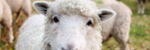 SOTF-Its-Lambing-season-March-3